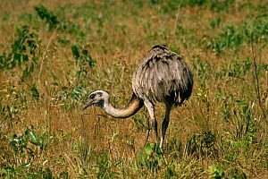 Common / Greater rhea {Rhea americana} Cerrado, Emas National Park, Goias, Brazil  -  Luiz Claudio Marigo