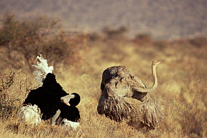 Courtship display of Ostrich pair {Struthio camelus} Buffalo Springs NR, Kenya  -  Luiz Claudio Marigo