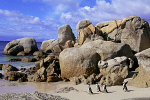 Black footed penguins on beach {Spheniscus demersus} Boulders Bay, South Africa - Luiz Claudio Marigo