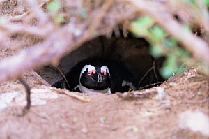Black footed penguin at nest hollow {Spheniscus demersus} Boulders Bay, South Africa - Luiz Claudio Marigo