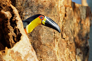 Channel billed toucan {Ramphastos vitellinus} South America  -  Luiz Claudio Marigo