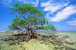 Red mangrove tree {Rhizophora mangle} with roots exposed at low tide, Boipeba Is, Bahia, Brazil  -  Luiz Claudio Marigo
