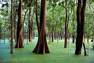 Trees in flooded rainforest (Igapo), River Negro, Amazonas, Brazil  -  Luiz Claudio Marigo