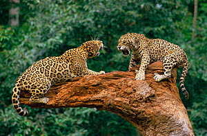 Jaguars fighting {Panthera onca} tropical rainforest, Brazil. Captive.  -  Luiz Claudio Marigo