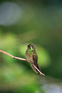 Purple throated mountain gem {Lampornis calolaema} Monteverde NR, Costa Rica  -  Fabio Liverani