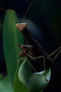 Praying mantis {Mantodea} Ranomafana NP, Madagascar. - Nick Garbutt