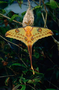 Madagascar moon / comet moth {Argema mittrei} captive male recently emerged from cocoon. - Nick Garbutt