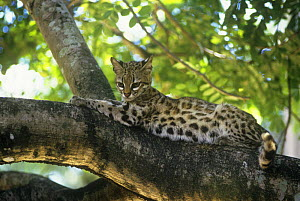 Little spotted cat {Felis tigrina} in rainforest tree, endangered, Brazil. Captive  -  Luiz Claudio Marigo
