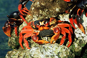 Cuban land crabs spawning {Gecarcinidae} Bay of Pigs, Cuba - Mike Potts