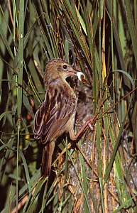 Fan-tailed warbler removes fecal pellet from nest {Cisticola juncidis} Spain  -  Jose B. Ruiz