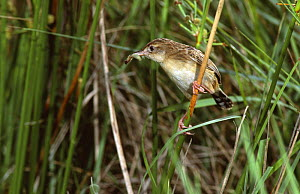 Fan-tailed warbler with caterpillar prey {Cisticola juncidis} Spain  -  Jose Luis GOMEZ de FRANCISCO