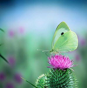 Large white / Cabbage white butterfly {Pieris brassicae} feeding on spear thistle, England  -  Kim Taylor