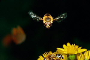 Male hoverfly hovering {Eristalis sp.} Europe. - Kim Taylor