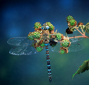RF- Common hawker dragonfly (Aeshna juncea) on berries. Europe. (This image may be licensed either as rights managed or royalty free.)  -  Kim Taylor