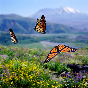 RF- Monarch butterflies (Danaus plexippus) migrating Digital composite, captive. (This image may be licensed either as rights managed or royalty free.)  -  Kim Taylor