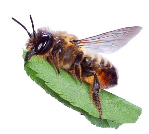 Cut-out of Leafcutter bee {Megachile sp} carrying leaf to nest. Surrey, UK.  -  Kim Taylor