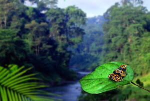 Poison arrow frog (unidentified) in tropical rainforest.  -  Kim Taylor