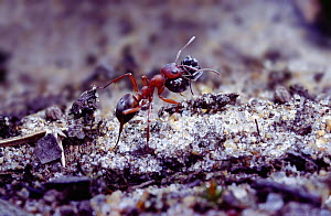 Slave-making ant {Formica sanguinea} carrying Negro ant {Formica fusca} slave.  -  Kim Taylor