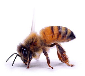 Cutout of Honey bee worker fanning to keep hive cool {Apis mellifera} UK - Kim Taylor