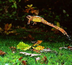 RF- Common Frog (Rana temporaria) female leaping, UK. (This image may be licensed either as rights managed or royalty free.)  -  Kim Taylor