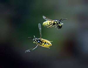Common wasp worker banking to avoid another carrying debris from nest. UK {Vespula vulgaris} Commended in the Audubon Society of Greater Denver  �Share the View� competition 2011 - Kim Taylor