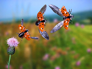 RF- Seven-spot ladybird (Coccinella septempunctata) taking off, sequence. UK,  digital composite. (This image may be licensed either as rights managed or royalty free.)  -  Kim Taylor