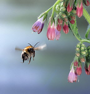 RF- Common carder bee (Bombus pascuorum) approaching comfrey flower. England. (This image may be licensed either as rights managed or royalty free.) - Kim Taylor