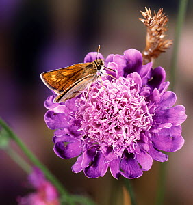 RF- Lulworth Skipper butterfly (Thymelicus acteon) female on field scabious. England. (This image may be licensed either as rights managed or royalty free.)  -  Kim Taylor