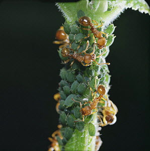 Red ants {Myrmica rubra} collecting honeydew from Aphids, UK  -  Kim Taylor