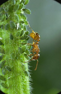 Red ant {Myrmica rubra} collecting honeydew from Aphids, UK  -  Kim Taylor