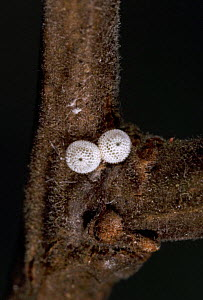 Eggs of Brown Hairstreak Butterfly (Thecla betulae) UK - Kim Taylor