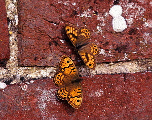 Wall Brown Butterfly male (upper) courting female on brick wall, UK (Lasiommata megera) - Kim Taylor