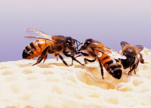 Honey Bee workers (Apis mellifera) mutual feeding on honey comb. UK, captive - Kim Taylor
