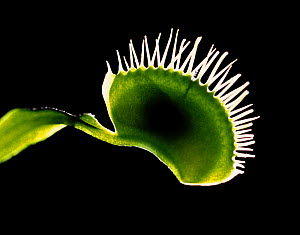 Venus flytrap (Dionaea muscipula) leaf with trapped bluebottle fly  -  Kim Taylor