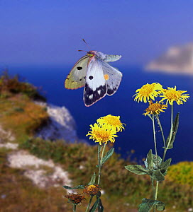 Clouded Yellow Butterfly and Fleabane, UK, captive, digital composite (C. croceus) - Kim Taylor