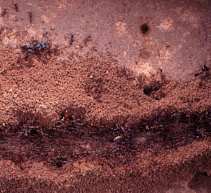 Safari Ant (Dorylus sp) column of workers and soldiers. Kenya  -  Kim Taylor