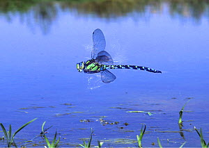 Southern hawker dragonfly {Aeshna cyanea} male hovering over pond, UK.  -  Kim Taylor