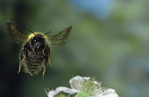 Bumble bee in flight {Bombus sp.} facing the camera  -  Kim Taylor