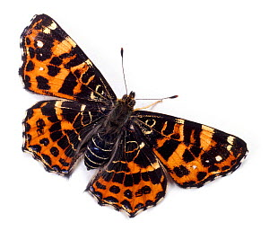 European Map Butterfly (Araschnia levana) spring colour form, UK. Captive. - Kim Taylor