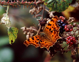 Comma Butterfly (Polygonia c-album) feeding on ripe blackberries, UK.  -  Kim Taylor