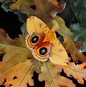 Bullseye Moth (Automeris io) feigns death and displays eye markings. UK, captive. - Kim Taylor