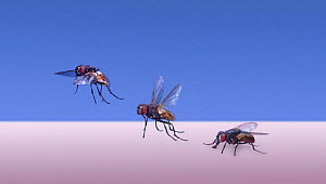 Common House Fly (Musca domestica) taking off. Digital composite - Kim Taylor