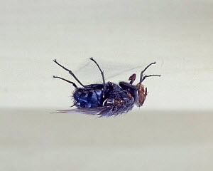 Common Bluebottle Fly (Calliphora vomitoria) on ceiling. Digital composite, UK. - Kim Taylor