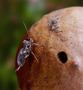Oak Marble Gall Wasp (Andricus kollari) cleans its wings after emerging from gall - Kim Taylor