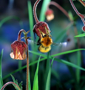 Moss Carder Bee (Bombus muscorum) leaving Water Avens (Geum rivale) flower, UK.  -  Kim Taylor