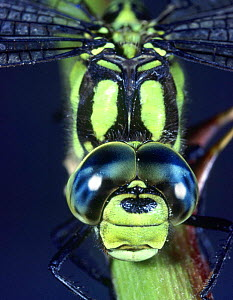 Southern Hawker Dragonfly (Aeshna cyanea) male. Close-up of eyes. UK. Captive.  -  Kim Taylor