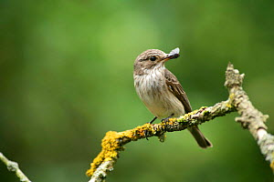 Spotted Flycatcher (Muscicapa striata) with Red-necked Footman Moth, UK  -  Kim Taylor