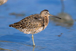 Long-billed dowitcher {Limnodromus scolopaceus} Florida, USA. - Lynn M Stone