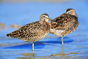 Long-billed dowitchers roosting {Limnodromus scolopaceus} Florida, USA. - Lynn M Stone