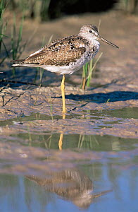 Lesser yellowlegs on one leg {Tringa flavipes} Florida, USA.  -  Lynn M Stone